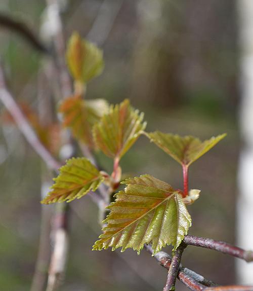 Emerging Birch