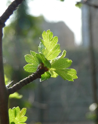 Emerging Hawthorn at Gunnersbury Triangle, London Wildlife Trust